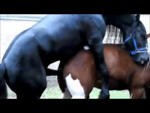 Stallion - Black Stallion Popping U, Horse Mating _ Horse Breeding Black Stallion Popping U, Horse Mating _ Horse Breeding.
