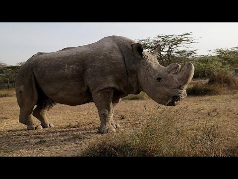 Умер последний самец северного белого носорога (видео)