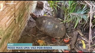 Polícia Ambiental aplica multa de seiscentos mil reais por rinha de galo em Avaí