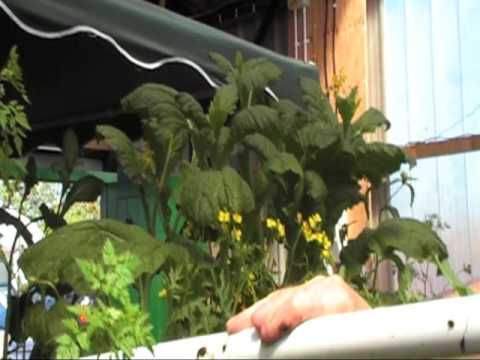Cleaning out the water pipes, Herbs From Wales aquaponic system