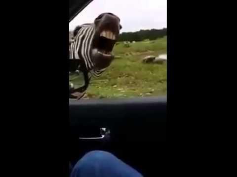 una zebra parlante!