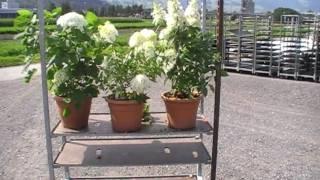 #153 Hydrangeasy - die einfachen Hydrangea/Hortensien
