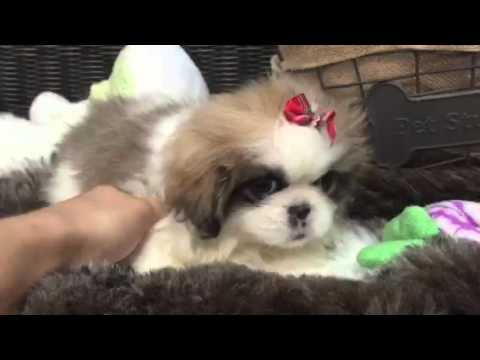 Tiny Brown & White Pekingese