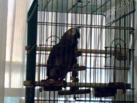 Ζακό – African Gray Parrot/zako  (kokos)