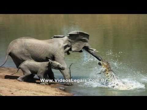 Ataques de jacaré (crocodilo) contra elefantes