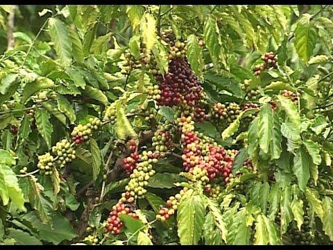 Xuất khẩu cà phê của Việt Nam tăng khá