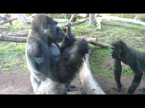 Gorilla pulls poop out his butt, eats it, and shares with son