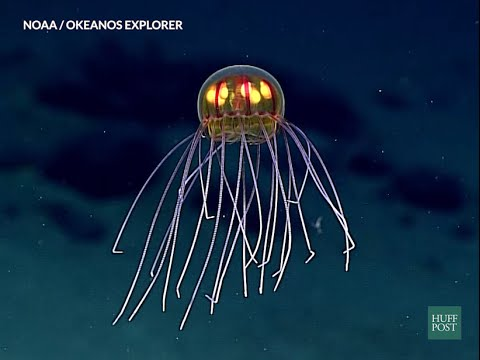 No It's Not A Robot. Newly Discovered Jelly Fish Discovered In The Marina Trench 2 Miles Under The Sea