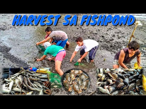HARVESTING TILAPIA,BANGUS AND ALIMANGO FROM OUR FISHPOND