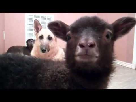 當羊叫聲不是咩,那會是…..YEAH!?