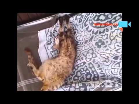 Kočičí veget