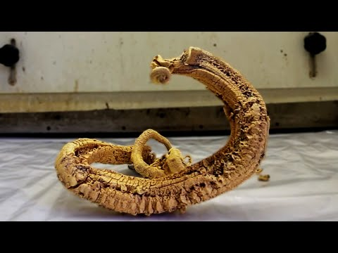 The Pharaoh s Serpent Is The Most Terrifying