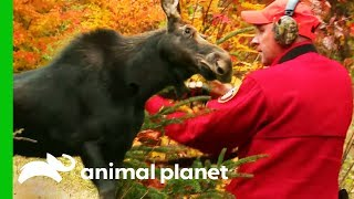 Moose With Deadly Brainworm Needs To Be Euthanized | North Woods Law by Animal Planet