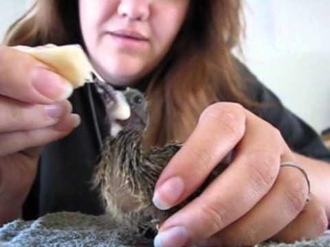 Baby Dove Feeding