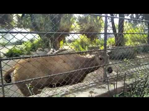 (Barking Deer at Nepal Zoo - Duration: 99 seconds.)