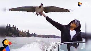 「だっていっしょに飛びたいんだもの!」人間に育てられたガン、疾走するボートと並んでお散歩を楽しむ