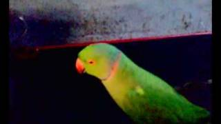 Malayalam talking Parrot....... more than 30 Year Old