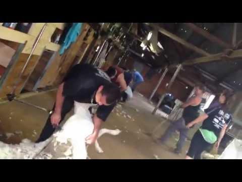 Atkinson Shearing - Blue Gate Moulamein NSW - April 2014 (видео)