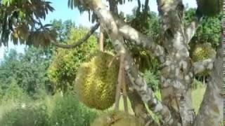 Video Perkebunan Durian Montong di Kuansing MP3, 3GP, MP4, WEBM, AVI, FLV Oktober 2018