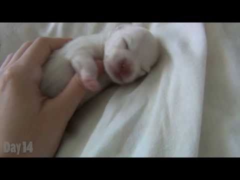 Watching a Puppy Grow – The first 14 days – Newborn Pomeranian Puppy