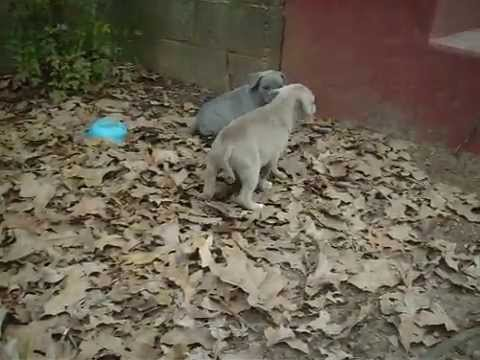 PITBULL PUPPY FIGHTS VOL 1. CAPONE VS COFFEE