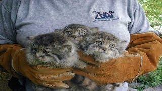 Download Video Petani ini Temukan Kucing Liar, dikira Kucing Biasa, ternyata besarnya ini... MP3 3GP MP4