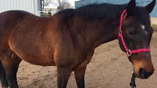 Explaining body diversity using horses!