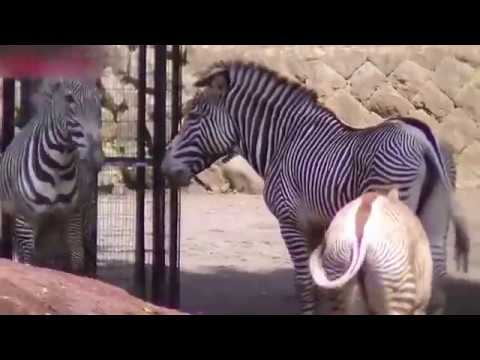Zebra LOVE / THE MOST VISITED VIDEO ON YOUTUBE 2017