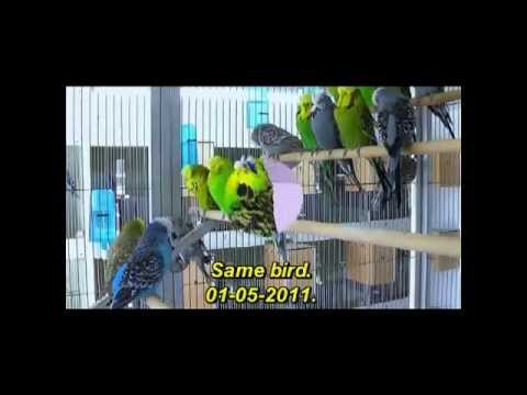 Geoff Tuplin,is one of the leading budgerigar breeders.