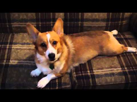 Cosmic Corgi Breeding - Arrow Meets The World