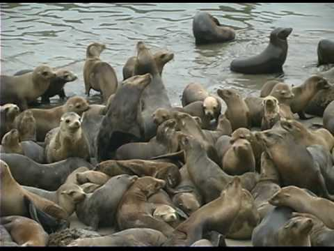 Sea Lion Pups Invade Monterey