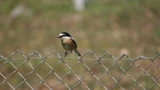 Video Maskeli örümcekkuşu » Masked Shrike » Lanius nubicus MP3, 3GP, MP4, WEBM, AVI, FLV Agustus 2018