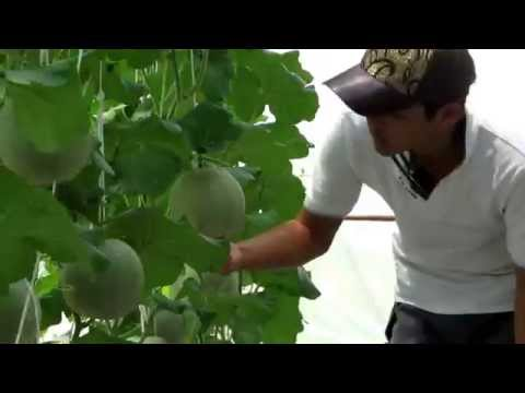 การปลูกเมล่อน - japaness musk melon and tomato grow in thailand farm เมล่อนญี่ปุ่น และ มะเขือเทศ ที่ปลูกใน ประเทศไทย www.kasethitech.com...