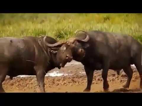 Video Nepali bull fight in Nuwakot Nepal download in MP3, 3GP, MP4, WEBM, AVI, FLV January 2017