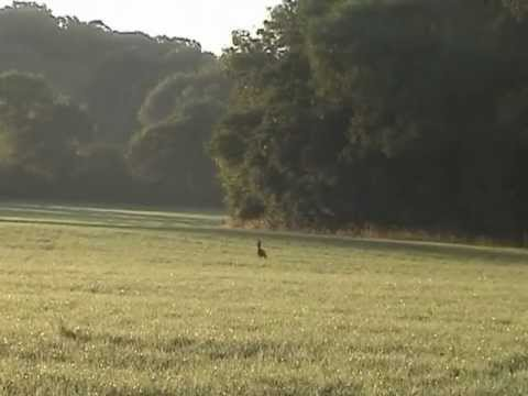 Gold medal Roe buck stalking