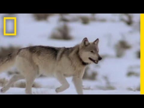 Jak loví vlci?