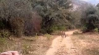 Alwar India  City pictures : Tiger Walking in Sariska Tiger Reserve, Alwar, India