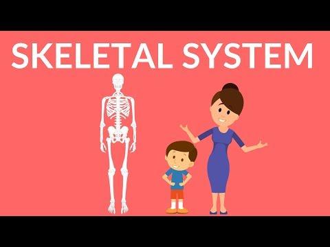 Skeletal System | Human Skeleton