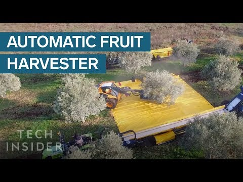 Harvesting Olives In A Clever Way