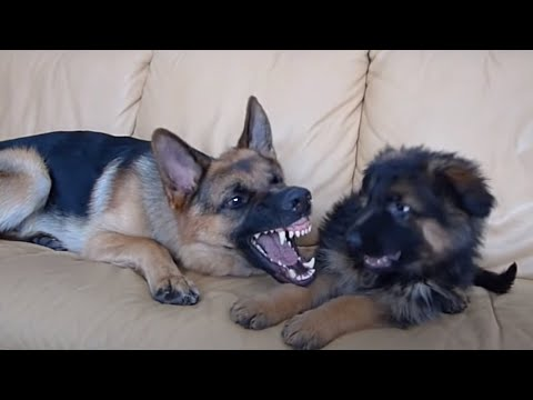 German Shepherd and Puppy Playing On Couch