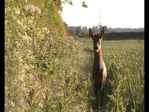 Roe buck shot at 21 m's.