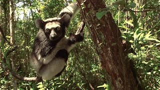 Five Special Things About Indri - Island of Lemurs: Madagascar Featurette