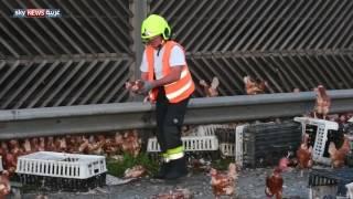 إغلاق طريق سريع لـ 5 ساعات في النمسا بسبب آلاف الدجاجات