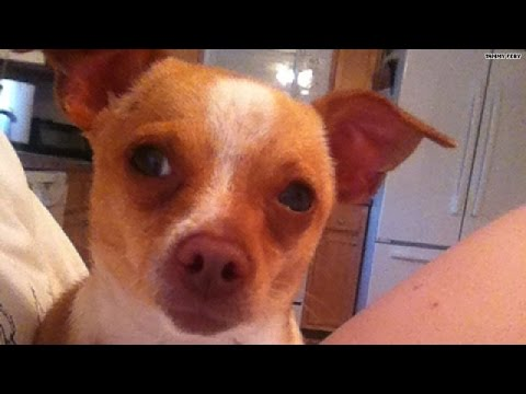 You HAVE to see this Chihuahua transformation!