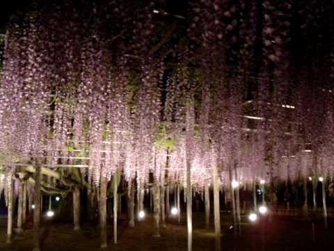 「[自然]栃木県にある「あしかがフラワーパーク」の藤の花ライトアップ美麗映像。」のイメージ