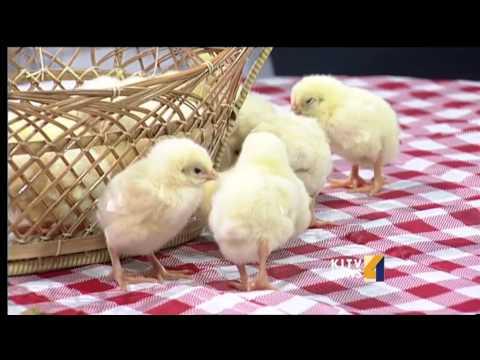 Asagi Hatchery talks with KITV about raising chickens.