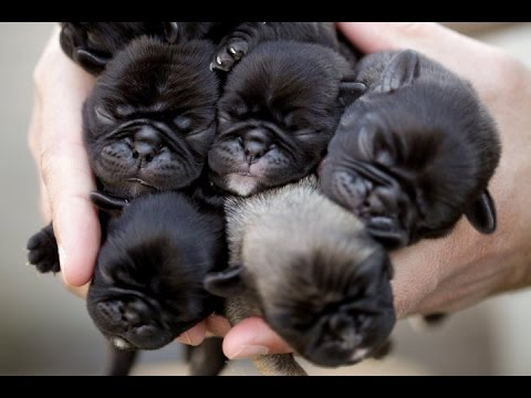 Newborn Pug Puppies