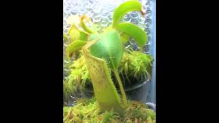 Nepenthes Time Lapse