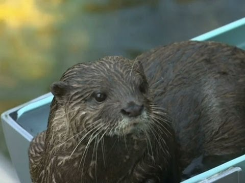 At - River otters were hitting the water slides to beat the summer heatwave on Wednesday at Ichikawa City's Zoological and Botanical Garden. (July 30) Subscribe for more Breaking News: http://smarturl....
