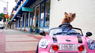 "Little Wonder Yorkie Dog Drives and Crashes Mini Cooper Car - Chloe Polka Dot "" Funny Dog Video "" - YouTube"